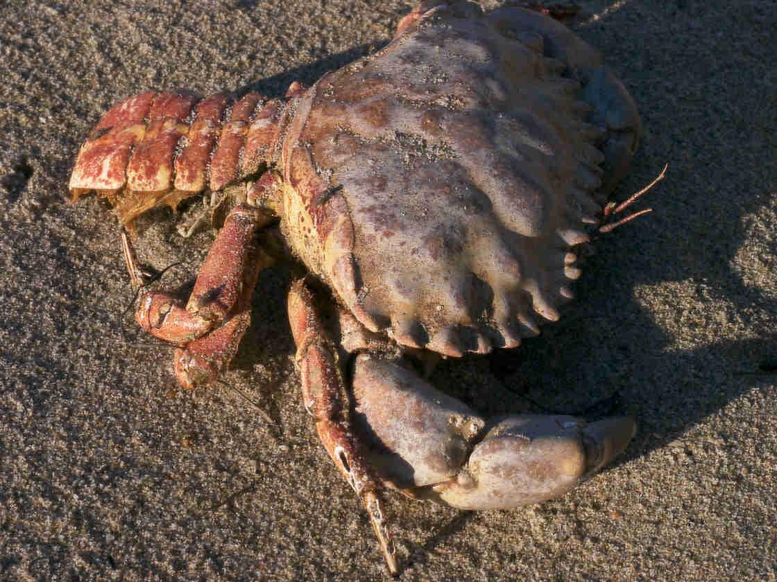 Crab/Lobster Hybrid